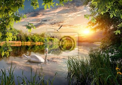 Swan dans le parc