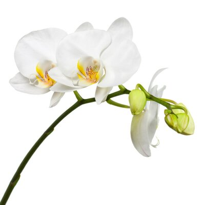 Sticker Three day old white orchid isolated on white background.