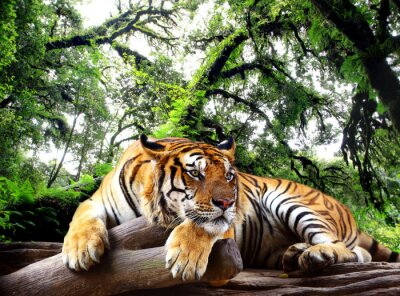 Sticker Tiger cherchez quelque chose sur le rocher dans la forêt tropicale à feuilles persistantes