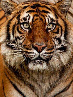 Sticker Tiger portrait