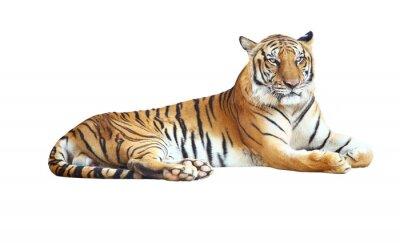 Sticker Tiger regardant la caméra avec chemin de détourage sur fond blanc