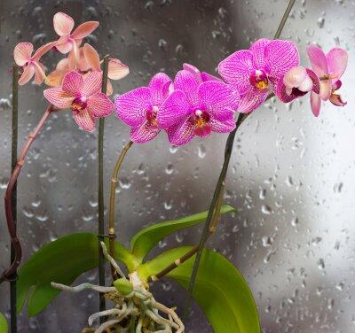 Sticker Tiges, orchidée, fleurs, fond, fenêtre, pluie, gouttes