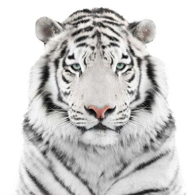 Sticker Tigre blanc isolé