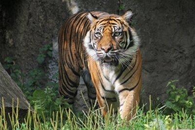 Sticker Tigre de Sumatra dans le zoo de Varsovie. Journée d'été ensoleillée.