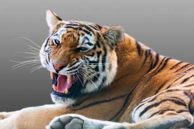 Sticker tigre grognant