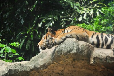 Tigre, pose, bas, falaise