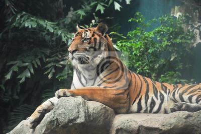 Tigre sur la roche