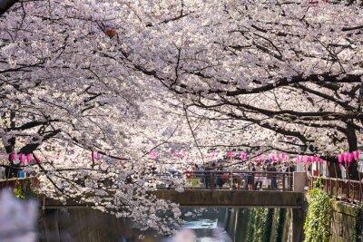 Sticker TOKYO, JAPON - le 30 mars: Photo de prise de vue non identifiée de touriste avec la fleur de fleur de cerise prise le 30 mars 2015 dans la région de Naga Meguro, Tokyo. Cette zone est populaire sakura