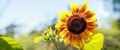 Sticker Tournesol jaune en pleine floraison
