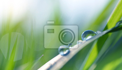 Transparent drops of water dew on grass close up. Spring nature background.