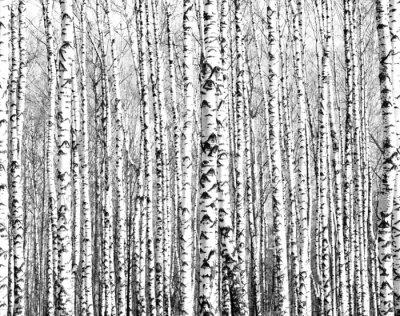 Sticker troncs de printemps de bouleaux noir et blanc