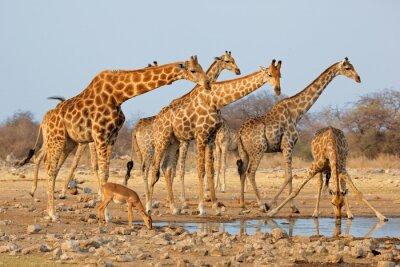 Sticker Troupeau de girafes (camelopardalis de Giraffa) à un waterhole, parc national d'Etosha, Namibie.
