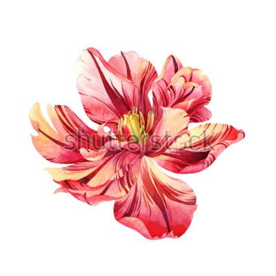Sticker Tulipe rose aquarelle isolée sur fond blanc