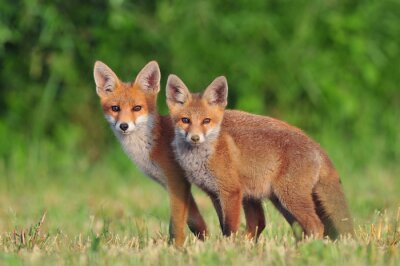 Sticker Two red foxes