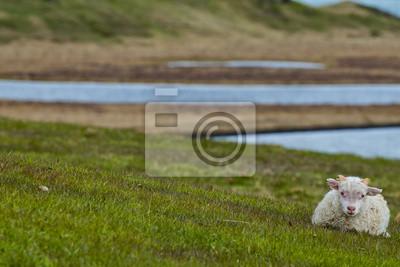 Un agneau isolé de l'Islande se détendre sur l'herbe verte