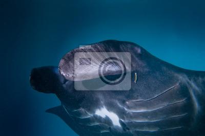 Un isolé très rare Manta noir dans le fond bleu