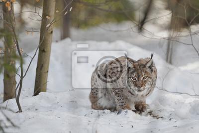 Un Lynx isolée au fond de neige tout en vous regardant