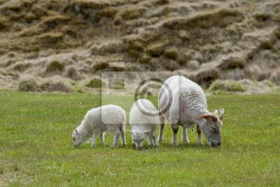 Un mouton blanc et deux agneaux de l'islande en mangeant