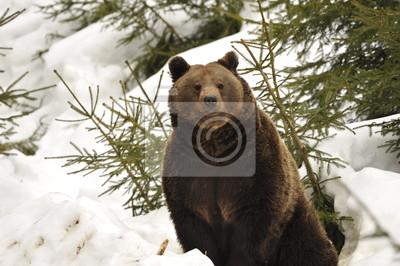 Un ours brun grizzly portrait noir dans la neige