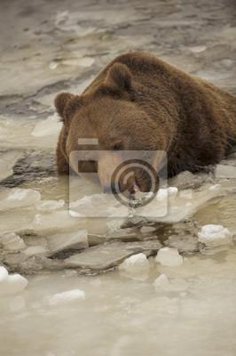 Un ours brun grizzly portrait noir dans la neige tout en mangeant de la glace