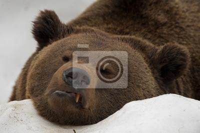 Un ours brun grizzly portrait noir dans la neige vous regarde