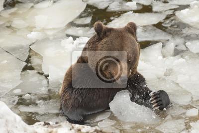 Un ours brun grizzly portrait noir dans le jeu de la neige avec de la glace