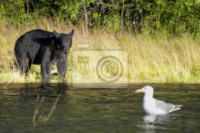 Un ours noir à la recherche d'une mouette dans Russian River Alaska