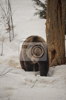 Un ours noir brun portrait grizzli dans la marche de la neige