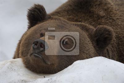 Un ours noir brun portrait grizzly dans la neige