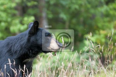 Un ours noir isolé dans le fond vert en Alaska