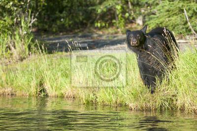 Un ours noir isolé en vous regardant dans Russian River Alaska