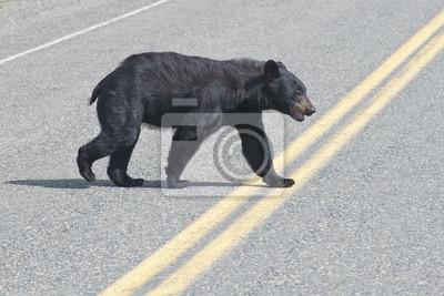 Un ours noir traversant la route en Alaska Britsh Columbia