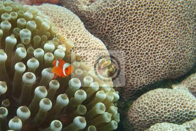 Un petit poisson clown rouge à Raja Ampat, Papouasie en Indonésie