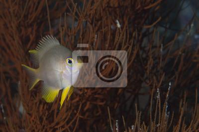 Un petit poisson sur un corail mou à Raja Ampat, Papouasie en Indonésie