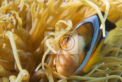 Un poisson clown isolé en vous regardant dans Cebu Philippines