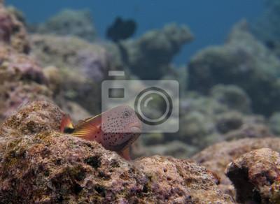 Un poisson sergent coloré vous regardant dans les Maldives