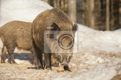 Un porc sauvage isolé dans la neige tout en vous regardant