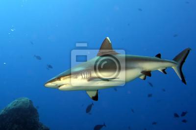 Un requin gris mâchoires prêts à attaquer fermer sous-marin portrait