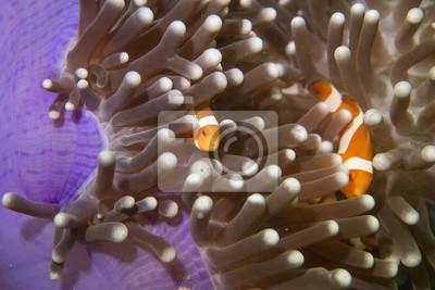Une famille de poissons clowns près portrait
