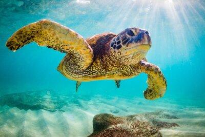 Sticker Une tortue de la mer verte hawaïenne en voie de disparition se lance dans les eaux chaudes de l'océan Pacifique à Hawaï.