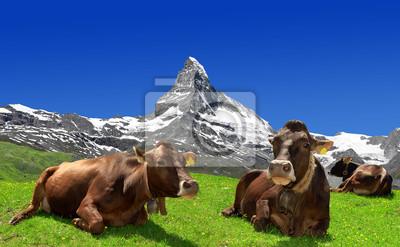 Vache couchée dans le pré - Alpes suisses