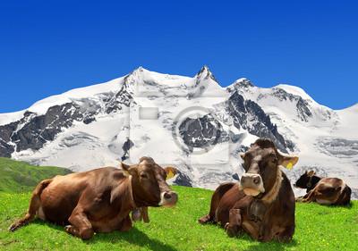 Vache couchée sur le pré-Alpes suisses