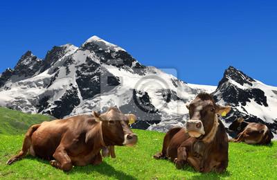 Vache couchée sur le pré dans les Alpes suisses