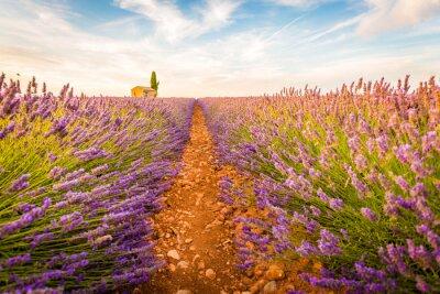 Sticker Valensole, Provence, France. Champ plein de fleurs pourpres de lavande