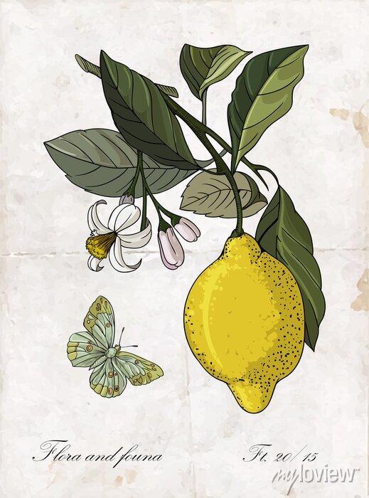 Sticker Vecteur, main, dessin, citron, branch., Botanique, Illustration.
