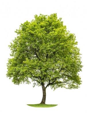 Sticker Vert chêne isolé sur fond blanc. Nature Objet