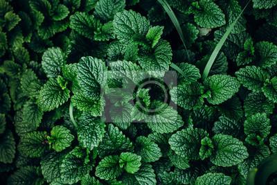 Sticker Vert, menthe, plante, croître, fond