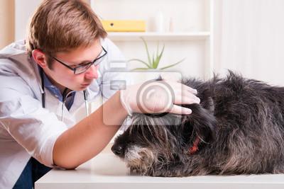 Vet examine les oreilles du chien dans le bureau stickers pc