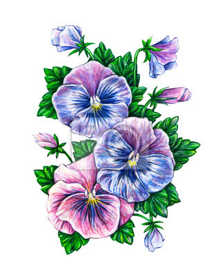 Viola tricolor. Watercolor colorful pansies flowers drawing.