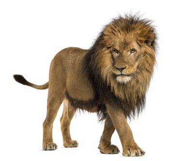 Sticker Vue de côté d'un pied de lion, Panthera Leo, 10 ans